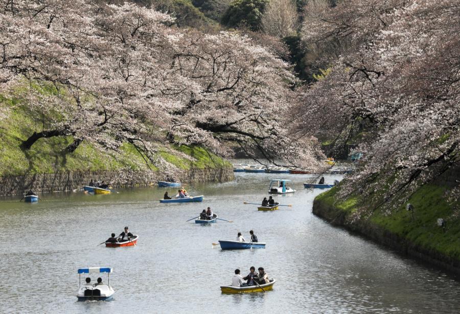 Kwitnące wiśnie w Japonii