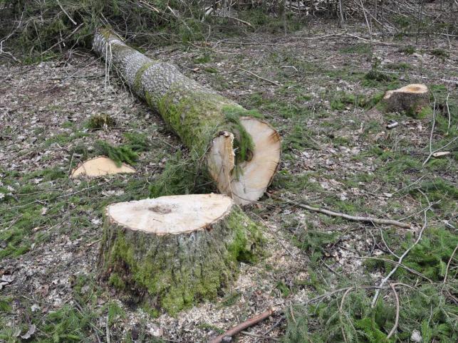 W niechronionej części Puszczy Białowieskiej wycina się rocznie ponad 100 tys. drzew © www.tydecydujesz.org