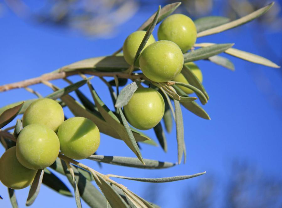 drzewo oliwne oliwki