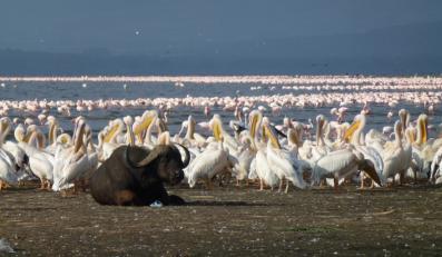 Jezioro Nakuru to niezwykłe miejsce, w którym żyją tysiące flamingów.