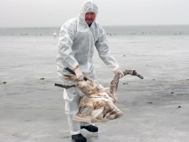 Ptasia grypa w Niemczech. Oczyszczanie plaży z padłych ptaków na wyspie Ruegen na północnym wschodzie Niemiec, w lutym 2006 roku