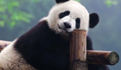 Panda wielka skrywa w sobie niezwykły antybiotyk